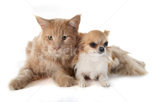 Maine kat hond dier puppy volwassen Stockfoto © cynoclub