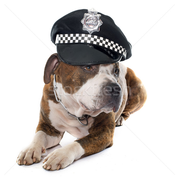 american stafforshire terrier and cap Stock photo © cynoclub