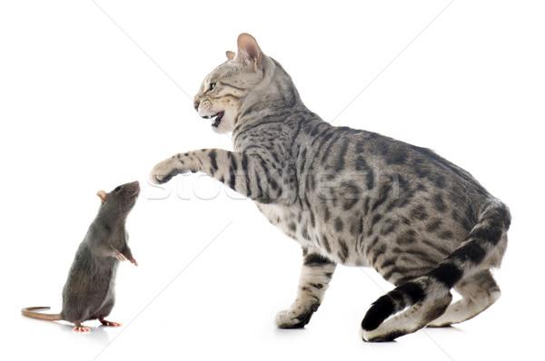 Bengalski kot szczur biały kobiet studio Zdjęcia stock © cynoclub
