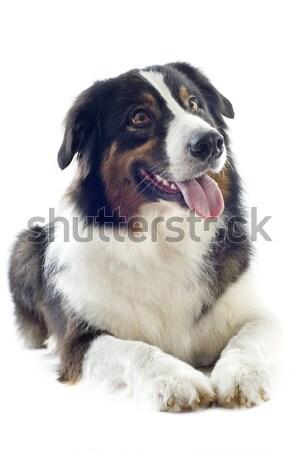 Tricolor australijczyk pasterz biały psa Zdjęcia stock © cynoclub