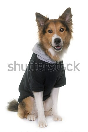 dressed border collie in studio Stock photo © cynoclub
