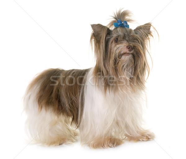 Foto stock: Cachorro · yorkshire · terrier · blanco · perro · estudio