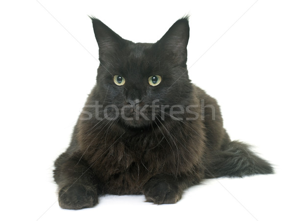 Мэн кошки черный молодые котенка Сток-фото © cynoclub