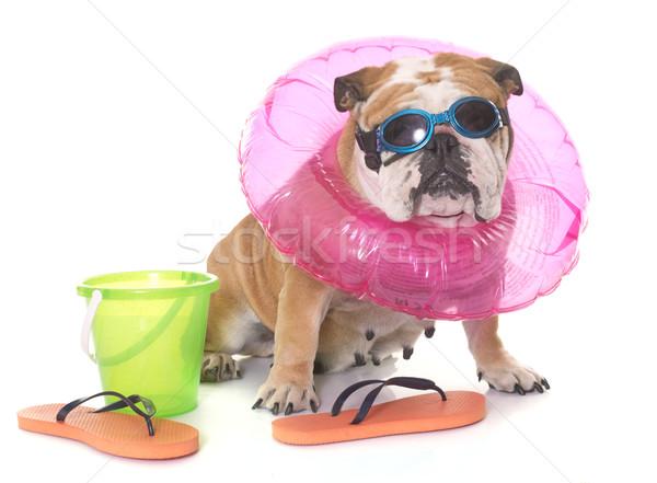 english bulldog in holidays Stock photo © cynoclub