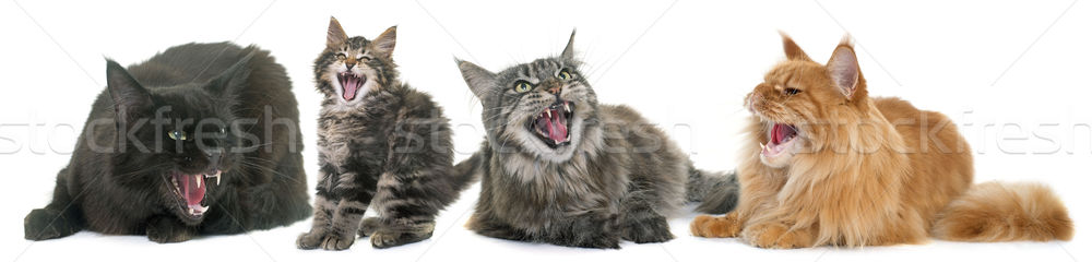 Stockfoto: Agressief · katten · witte · kat · groep · mond