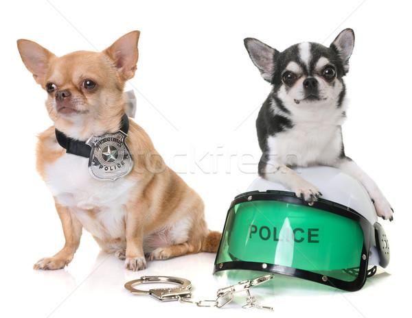 police dog chihuahuas Stock photo © cynoclub