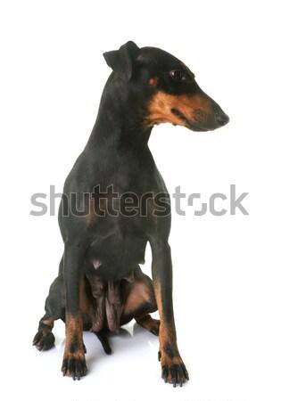 Kutyakölyök terrier felnőtt fehér anya Stock fotó © cynoclub