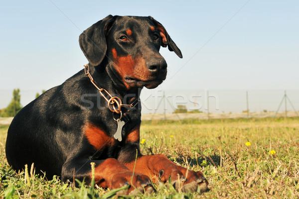 ドーベルマン犬 黒 ダウン フィールド 自然 ストックフォト © cynoclub
