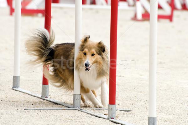 shetland in agility Stock photo © cynoclub