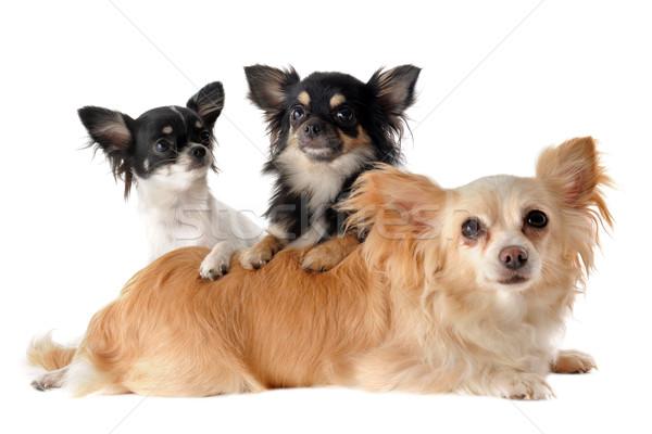 3  肖像 かわいい 子犬 成人 ストックフォト © cynoclub