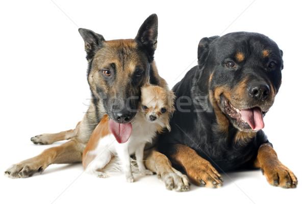 malinois, chihuahua and rottweiler Stock photo © cynoclub