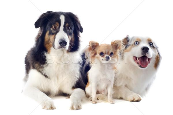 Stok fotoğraf: Avustralya · köpek · köpekler · siyah · genç