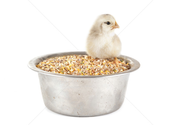 young chick and cereals Stock photo © cynoclub