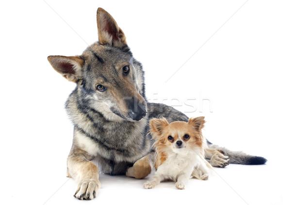 Portré fajtiszta barátok farkas veszély együtt Stock fotó © cynoclub