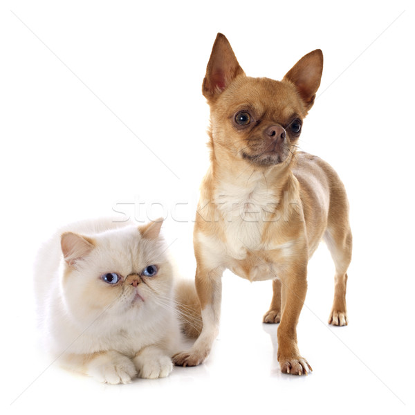 exotic shorthair cat and chihuahua Stock photo © cynoclub