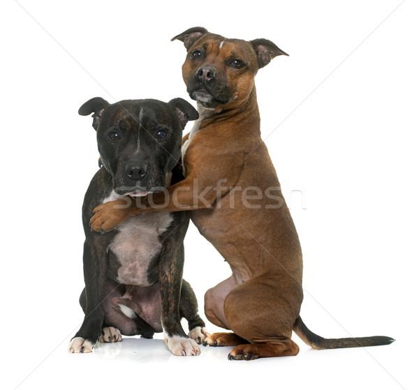 two staffordshire bull terrier Stock photo © cynoclub