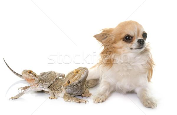 állat stúdió kutyakölyök férfi gyík fehér háttér Stock fotó © cynoclub