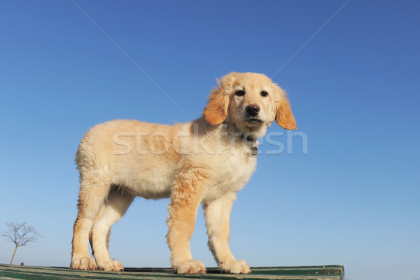 puppy hovawart Stock photo © cynoclub