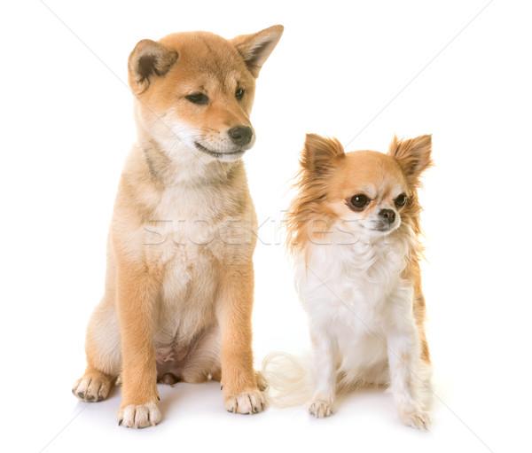 puppy shiba inu and chihuahua Stock photo © cynoclub