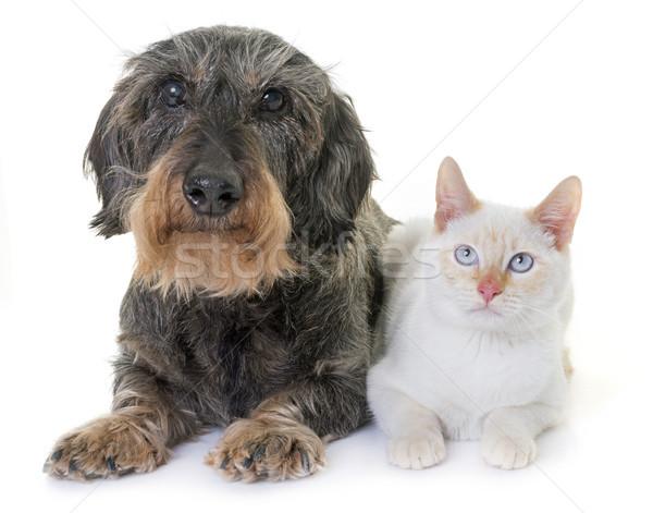Stock fotó: Tacskó · kiscica · öreg · fehér · macska · állat