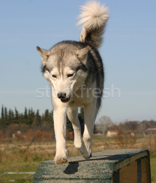 siberian husky Stock photo © cynoclub