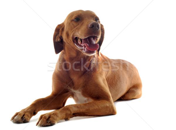 Foto stock: Retrato · cão · isolado · um · fundo · branco