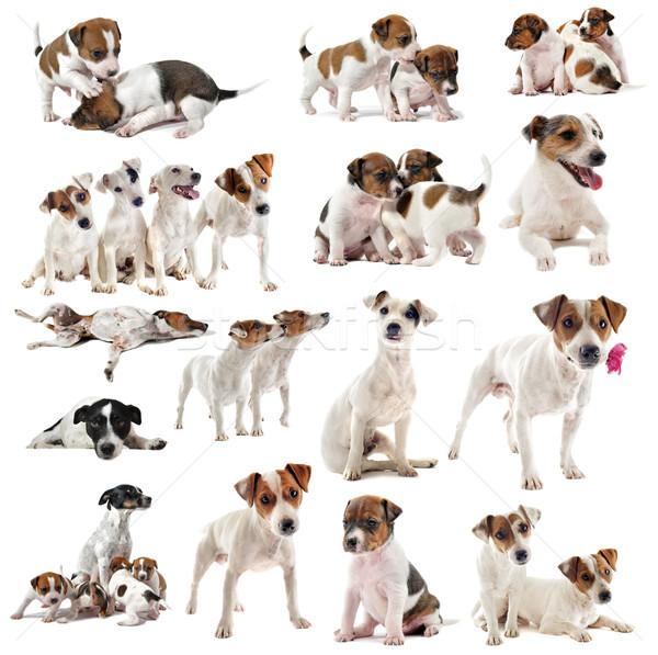 テリア 肖像 多くの スタジオ 犬 ストックフォト © cynoclub