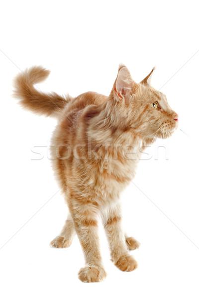 maine coon cat Stock photo © cynoclub