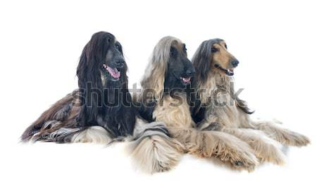 afghan hounds Stock photo © cynoclub