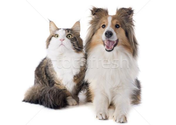 shetland dog and maine coon cat Stock photo © cynoclub