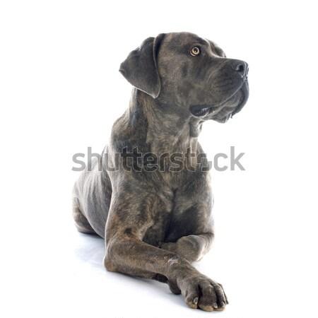 italian mastiff Stock photo © cynoclub