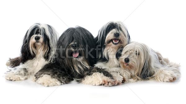 four Tibetan terrier Stock photo © cynoclub