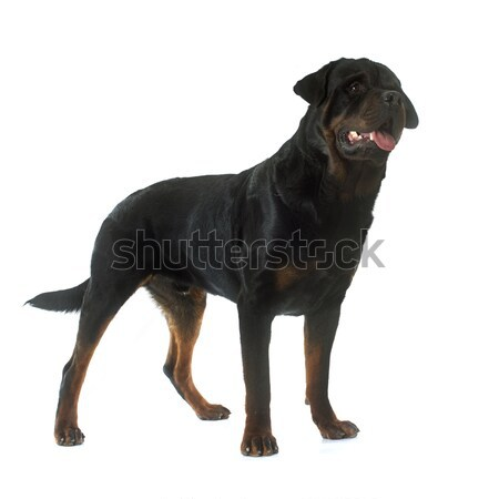 Rottweiler blanche Homme animal isolé Photo stock © cynoclub