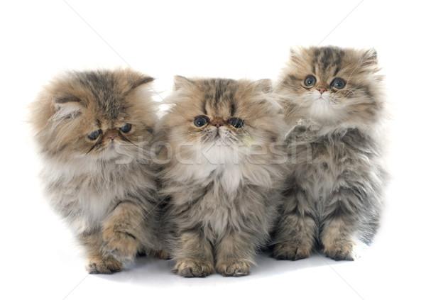 ストックフォト: 子猫 · 白 · 猫 · グループ · スタジオ · ペット