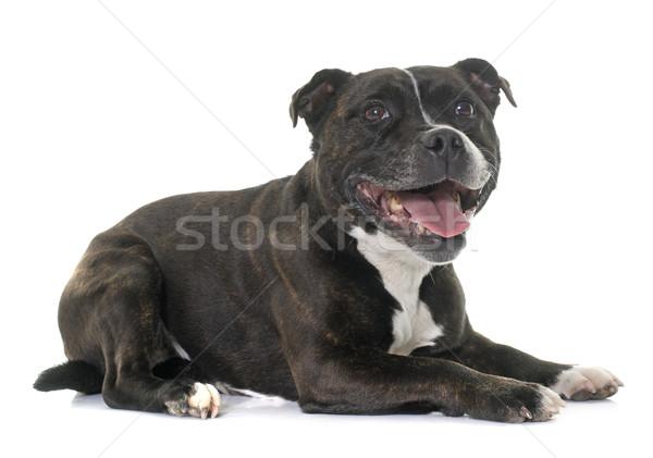 Zdjęcia stock: Byka · terier · biały · czarny · szczeniak · domowych