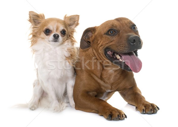 stafforshire bull terrier and chihuahua Stock photo © cynoclub