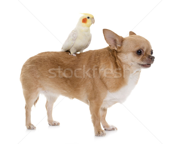 chihuahua and cockatiel Stock photo © cynoclub