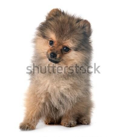 puppy pomeranian spitz Stock photo © cynoclub