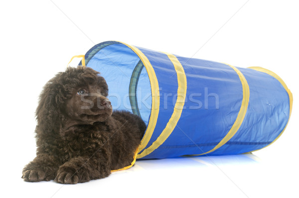 puppy brown poodle in agility Stock photo © cynoclub