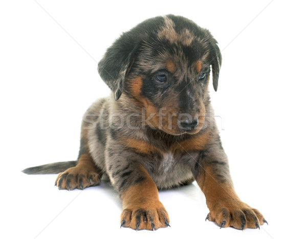 beauceron puppy in studio Stock photo © cynoclub