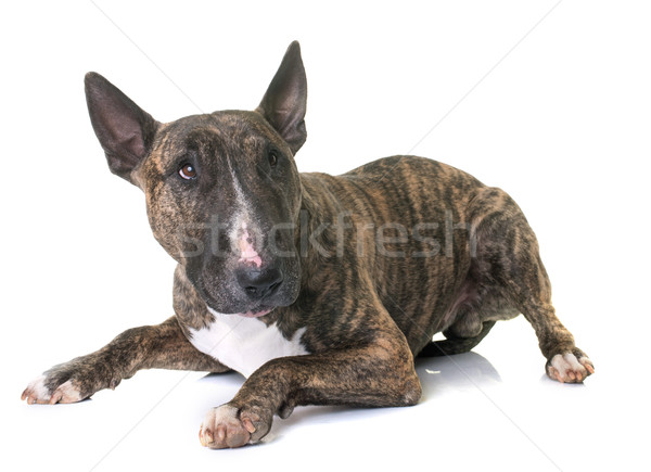brown bull terrier Stock photo © cynoclub