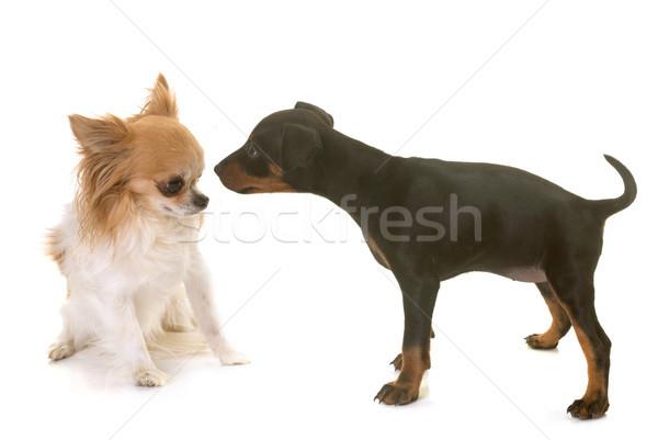 Kutyakölyök terrier megbeszélés díszállat Stock fotó © cynoclub