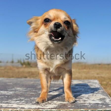 Cachorro labrador retriever blue sky bebê cão Foto stock © cynoclub