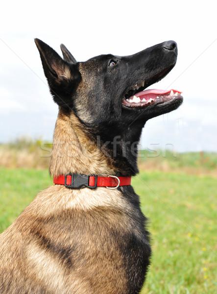 Fiatal belga juhászkutya portré kutyakölyök fajtiszta kutya Stock fotó © cynoclub