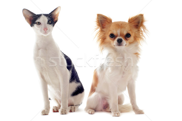 oriental cat and chihuahua Stock photo © cynoclub
