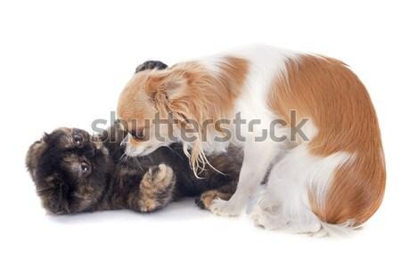Stockfoto: Kat · hond · spelen · exotisch · korthaar · kitten