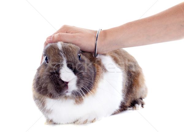 stroking rabbit Stock photo © cynoclub