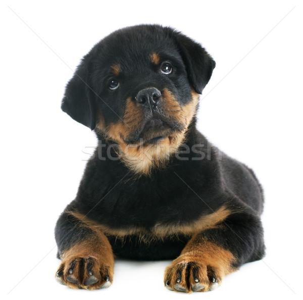 子犬 ロットワイラー 肖像 白 小さな ストックフォト © cynoclub