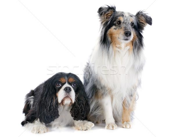 shetland dog and cavalier king charles Stock photo © cynoclub