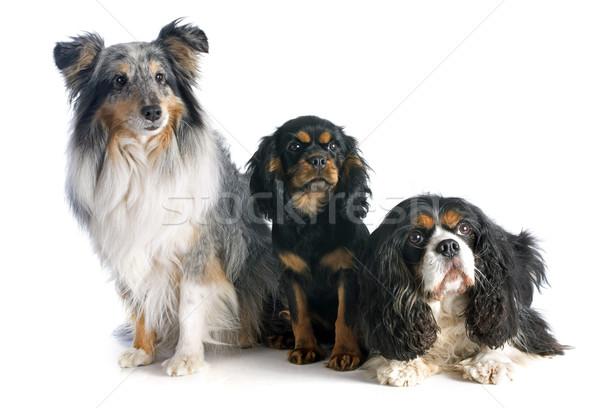 three dogs Stock photo © cynoclub